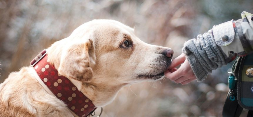 Labrador Retriever Being Fed By Owner